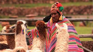 The llamas of Machu Picchu